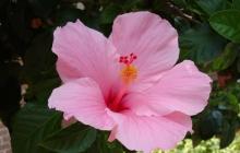 hibiscus-pink-flower-dsc01205